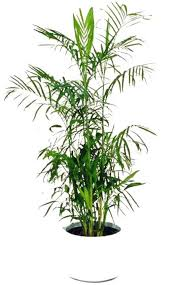 plants feng shui home layout plants. Great Plants For Purifying The Air In Feng Shui Home Layout