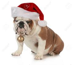 Christmas Dog - English Bulldog Wearing Santa Hat Holding ...