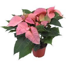 Weihnachtsstern Rosa Topf ø Ca 13 Cm Euphorbia Pulcherrima