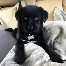 husky black lab mix puppy. Modren Mix Black Lab Husky Mix  To Puppy