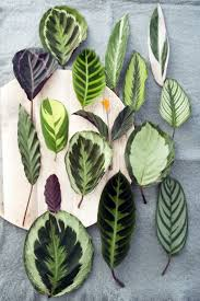 Calathea. Calathea PlantPrayer PlantCat ...