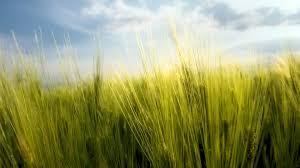 tall green grass field. Blue Green Plush Thick Clouds Tall Grass Daylight Standing Sky Nature Day Stand Field Desktop - 1920x1080 D