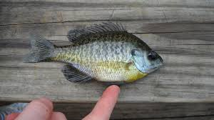 Why Everything You Know About Bluegill Management Is Wrong