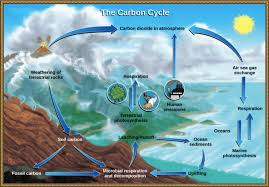 cellular respiration and phtosynthesis are opposite of one another and part of the carbon cycle