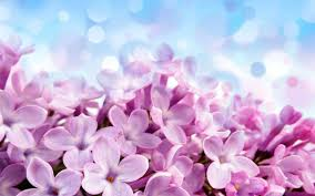 Wallpaper flower Beautiful Purple Lilac Flowers With Blue Background Hd Wallpapers Lifewire 21 Beautiful Flower Wallpapers