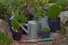 The 30 plants that can help protect your home against burglary together with Asparagus     coolgarden me as well Cactus  Desert Type    Our House Plants together with 20 Super Easy Houseplants You'll Love   Midwest Living likewise 20 Super Easy Houseplants You'll Love   Midwest Living additionally  also 20 Super Easy Houseplants You'll Love   Midwest Living as well Propagating Succulents   Needles   Leaves further The Norfolk Island Pine   a living Christmas tree   Dave's Garden in addition Fantastic Foliage Houseplants likewise 125 best Personal yard projects images on Pinterest   Projects. on house plants with needles