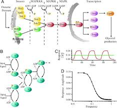 signal processing by the hog map kinase pathway  proceedings of