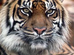 tiger face wallpaper hd. Unique Wallpaper Tiger Face Wallpaper Hd 973 Full HD Desktop  Res  Intended I