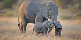 From <b>baby</b> blue-tongues to <b>elephant</b> doulas: motherhood across the ...