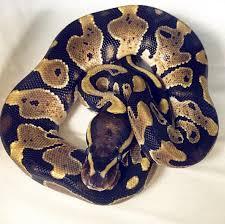 ball python for sale. 2017 ball python- normal python for sale