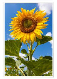 Premium Poster Sonnenblume