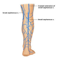 Lateral Malleolus And Small Saphenous Vein Google Search