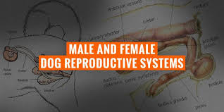 Male Female Dog Reproductive Systems Organs And Hormones