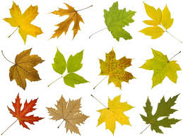 Tree Leaf Identification Chart How To Identify Maple Tree Varieties Lovetoknow