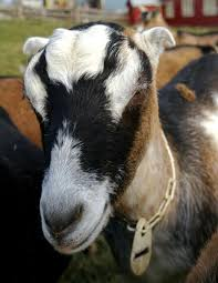 Dairy Goat Breeds Selecting A Dairy Goat Breed Backyard Goats