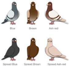 Roller Pigeon Color Chart Pigeon Color Names Pigeontype
