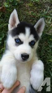 black husky puppies with blue eyes. Wonderful With Pets And Animals For Sale In Beaver Ohio  Puppy Kitten Classifieds  Buy Sell Kittens Puppies Americanlistedcom With Black Husky Puppies Blue Eyes