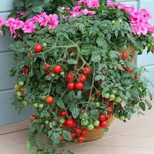 container gardening tomatoes. Fine Container While You Can Grow All The Varieties In Containers Should Research For  That Perform Best When Grown Pots Hereu0027s A List Of Best Tomato  For Container Gardening Tomatoes