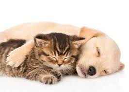 dog and cat sleeping together. Plain Sleeping Golden Retriever Puppy Dog And British Cat Sleeping Together Isolated On  White Background Stock Photo  To Dog And Cat Sleeping Together