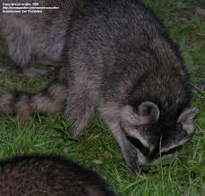 Raccoons In Vending Machine Fascinating Wildlife Raccoons Getting A Little Too Friendly Part 48 48 By