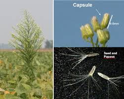 Nebraska Extension Pest Of The Month Horseweed Cropwatch