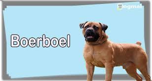 Boerboel Dog Breed Characteristics Appearance History
