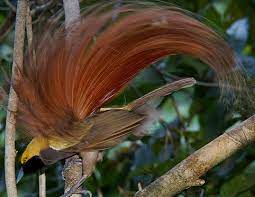 GOLDIE'S BIRD OF PARADISE LIFE EXPECTANCY