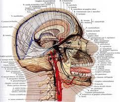 нервной системы Отделы нервной системы