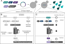 Gpcr Signaling Engineering A Model Cell For Rational Tuning Of Gpcr