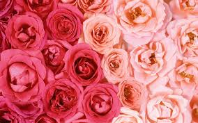 Pink roses desktop wallpaper