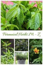 this list of perennial herbs features plants with the letters m z