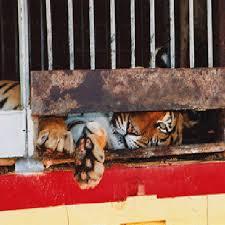 Résultat de recherche d'images pour 'maltraitance cirque'