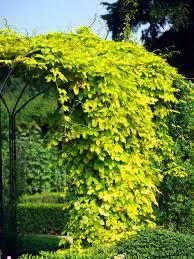 How To Grow Climbing Hydrangea Growing Climbing HydrangeaClimbing Plants Texas