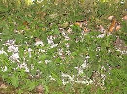 Polypodiaceae   fern family   Britannica.com