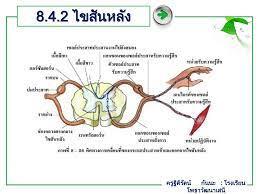 บทที่ 8 ระบบประสาทและอวัยวะรับความรู้สึก - ppt ดาวน์โหลด