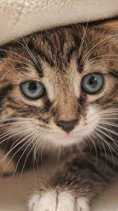 iphone and android wallpapers kitten wallpaper for iphone and android