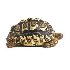 Indian Star Tortoise Diet Chart A Guide To Caring For Leopard Tortoises As Pets