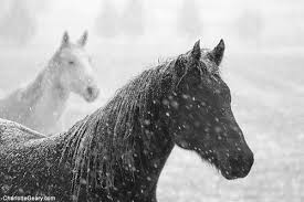 black horses in snow. Unique Horses White And Black Horses In Snow  By Charlotte Geary Photography On Black Horses In Snow