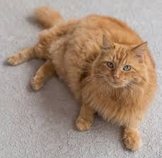 fluffy white and orange cats. Wonderful Cats Orange Cat Names Throughout Fluffy White And Orange Cats