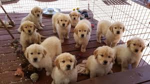 light golden retriever puppies. Puppies To Light Golden Retriever