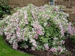 The Most Beautiful SpringFlowering ShrubsShrub With Pink Flowers