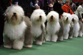 the westminster kennel club dog show photo essays time westminster kennel club annual dog show dogs puppies