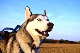 are huskies good dogs how big do huskies get and how much do huskies