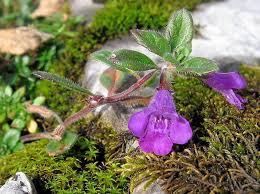 Acinos alpinus - Wikipedia