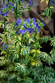 Variegated Jacob's Ladder is an intriguing plant that forms a tidy mound of  brightly variegated green