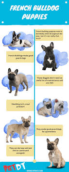 French Bulldog Puppies A Complete Guide Petdt