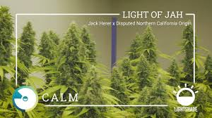 Light Of Jah Lightshade Strain Light Of Jah On Vimeo