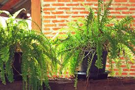 Button Fern Light Requirements Why Are My Ferns Turning Light Green Home Guides Sf Gate