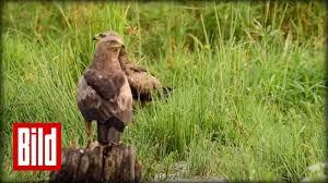 Adler vogel deutschland