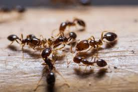 manning pest control. Plain Control Everything You Need To Know About Ants With Manning Pest Control C